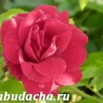 Можно ли подкармливать розы?