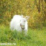 Козы породы Русская Белая