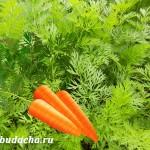 Сроки посева 2018: Когда сеять морковь?