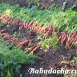 Морковь: сбор урожая и зимнее хранение