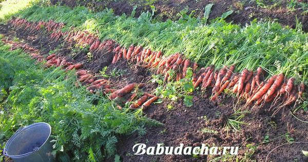 Сентябрь - время, когда нужно убирать морковь: В Подмосковье и Сибири, на Урале и в Средней полосе