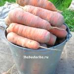 После чего можно сажать морковь?
