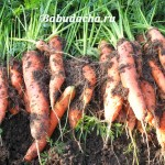 Где лучше сажать морковь?