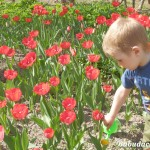 Когда цветут тюльпаны?
