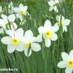 Когда цветут нарциссы?