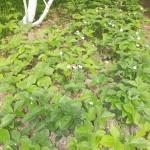 Где лучше сажать землянику: почвы, растения-предшественники