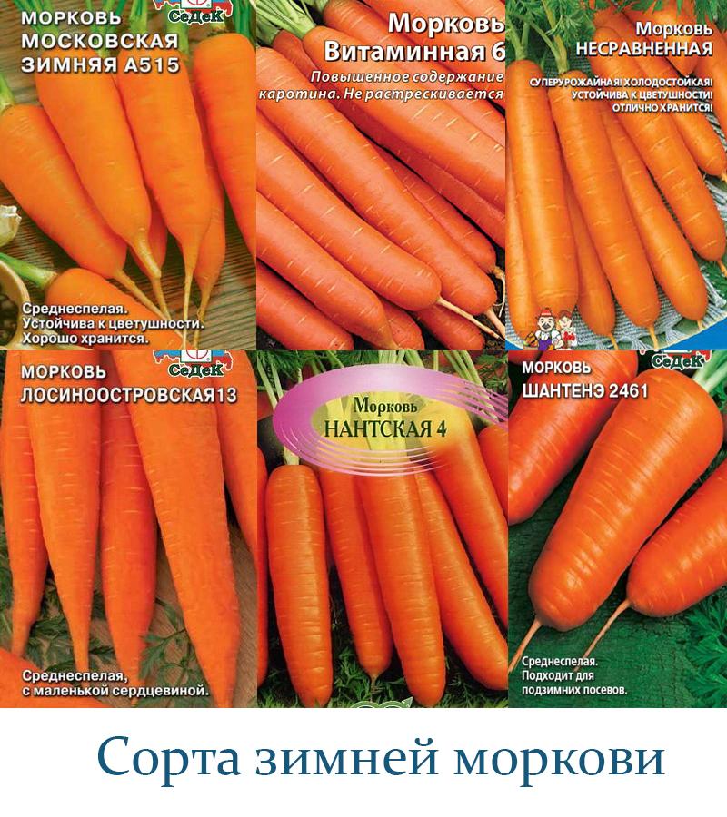 Какой морковь сажают под зиму