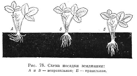Как сажать клубнику в борозды 15