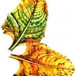 Желтеют листья у свеклы: почему и что делать?