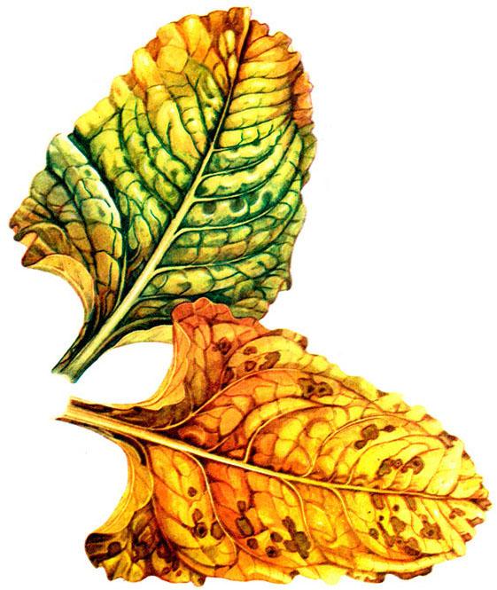 Желтеют листья у свеклы: почему и что делать, Дача