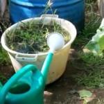 Чем подкормить огурцы в теплице для роста?
