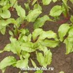 Как сажать свеклу семенами: вопрос-ответ