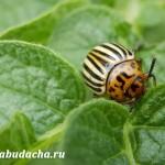 Чем опрыскивать колорадского жука?