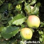 Посадка яблони весной саженцами: вопрос-ответ