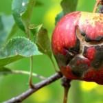 Парша на яблонях: чем обработать