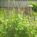 Горох: удобрения, подкормки, поливы