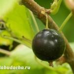 Смородина: поливы и подкормки