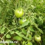 Подкормки помидоров: когда, чем и сколько