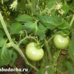 Сколько поливать помидоры?