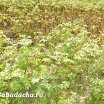 Фитофтора на картошке: можно ли спасти урожай?