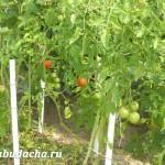 Как подвязать помидоры в открытом грунте?