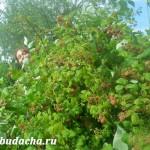 Малина: поливы и подкормки