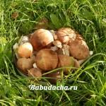 Как варить грибы для маринования?