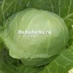 Как поливать капусту в открытом грунте?