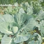 Чем можно подкормить капусту (рассаду и после посадки)
