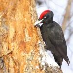 Как зимуют звери и птицы в лесу? Для детей