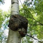 Березовый гриб чага — средство от ста недугов