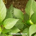 Чем подкормить перец в открытом грунте