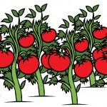 Какой сорт томатов (помидор) лучше сажать?