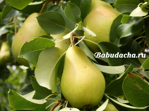 Как и чем опрыскивать плодовые деревья весной