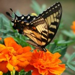 Бархатцы: посев семян на рассаду