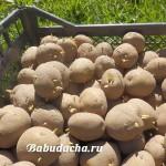 Как прорастить картошку для посадки?