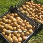 Чем обработать картошку перед посадкой?