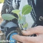 Как посадить рассаду капусты в открытый грунт?
