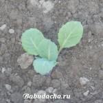 При какой температуре высаживать капусту в грунт?