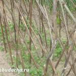 Когда сажать горох в грунт весной? Сроки посадки