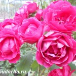 Чем подкормить розы осенью (на зиму)?