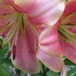 Можно ли пересаживать лилии осенью?