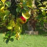 Можно ли осенью обрезать деревья в саду?