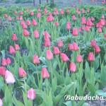 Луковицы тюльпанов осенью: когда сажать и как?