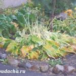 Когда пересаживать хосту? Осенью или весной?