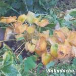 Хоста осенью: уход