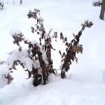 Когда обрезать флоксы на зиму? Обрезка флоксов пошагово