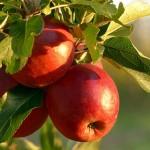 Стихи о яблоках для детей