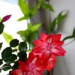 Уход за цветущим декабристом