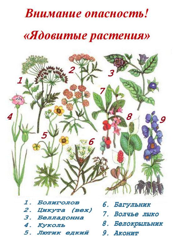 """картинка-памятка """"Ядовитые растения"""""""